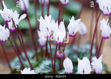 Cyclamen persicum flower portrait. Cyclamen growing in a protected environment. - Stock Image