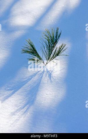 Tip of White Pine or Weymouth Pine tree, Pinus strobus, seedling above snow - Stock Image