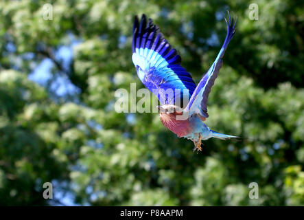African Lilac breasted roller (Coracias caudatus) in flight - Stock Image