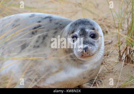 A young seal pup on Horsey Beach, North Norfolk, UK on New Year's Eve - Stock Image