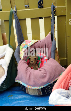 Orphaned baby kangaroo (joey) in a makeshift 'pouch'. - Stock Image