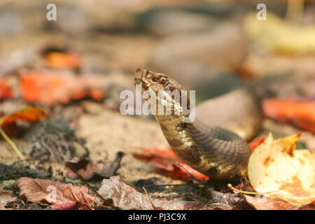 A cottonmouth among autumn leaves - Stock Image