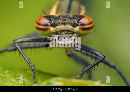 Close up of a Large Red Damselfly (Pyrrhosoma nymphula) perched on a leaf. Tipperary, Ireland - Stock Image