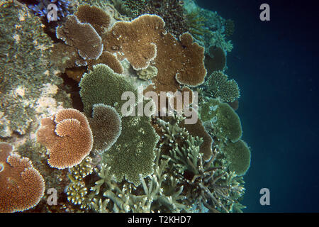 Diverse Acropora corals on wall, Moore Reef, Great Barrier Reef, Queensland, Australia - Stock Image