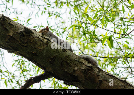 A grey squirrel Sciurus carolinensis seen from below watching over the side of a willow tree branch - Stock Image