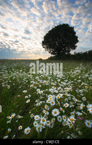 Daisies in Heartwood Forest - Stock Image