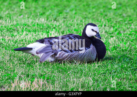 Barnacle Goose is on the meadow - Stock Image