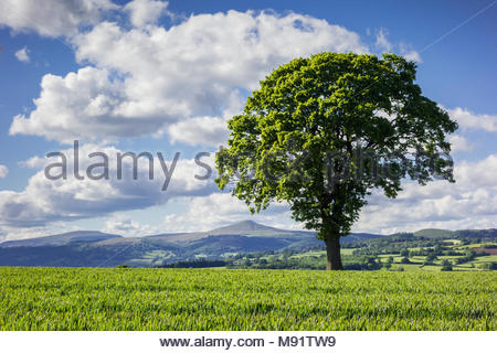 Oak tree in an arable field at Croes Llanfair, Monmouthshire, Wales, UK, in summer Sugar Loaf mountain and the Black Mountains in the background. - Stock Image