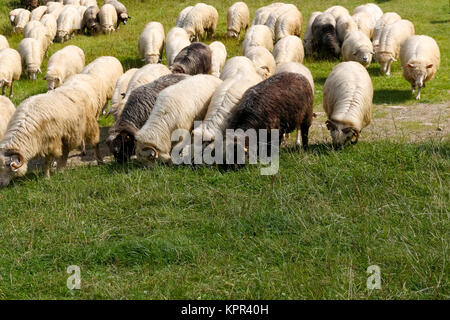 The sheep are fed on grass in the meadow and you can see such views near Zakopane in Poland. - Stock Image