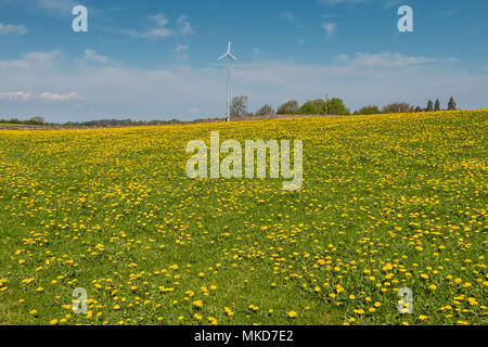 A field covered in flowering dandelions under a blue sky, with a small wind turbine in the background - Stock Image