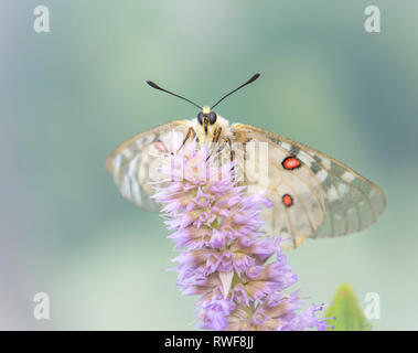 Clodius Parnassian butterfly on a mint flower - Stock Image