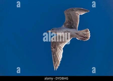 Immature Herring Gull flying under a blue sky. - Stock Image