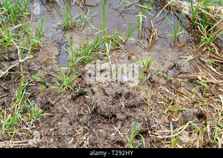 Mud and aquatic plant growth at waters edge - Stock Image
