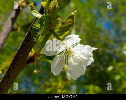 cherry tree blossom - Stock Image