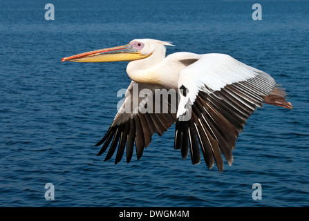 A Great White Pelican (Pelecanus onocrotalus) in flight over the sea near the coast of Namibia - Stock Image