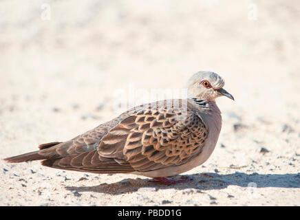 adult European Turtle Dove,(Streptopelia turtur), Ibiza, Balearic Islands, Mediterranean Sea, Spain - Stock Image
