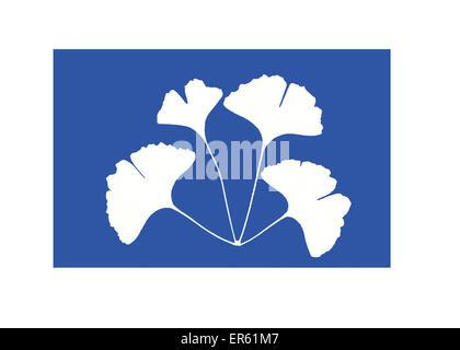 Cyanotype (blueprint) of maidenhair tree leaves, Ginkgo biloba,  Gives a white negative image on a blue background - Stock Image