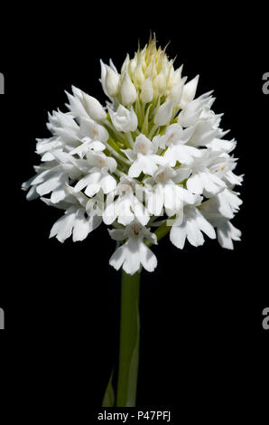 Rare white flowers inflorescence - albiflora - version of wild pyramidal orchid (Anacamptis pyramidalis) isolated over a black background. Serra da Ar - Stock Image