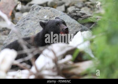 Black Bear hunting for salmon at Herring Bay, Ketchikan, Alaska - Stock Image
