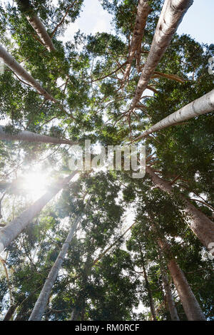 A view up towards the treetops. - Stock Image