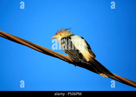 Guira Cuckoo (Guira guira) on Wire, against Blue Sky. Porto Jofre, Pantanal - Stock Image