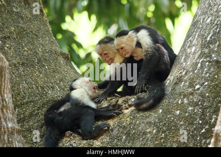 White-faced capuchin monkeys (cebus capucinus). Aggression between troup members. Palo Verde National Park, Guanacaste, - Stock Image