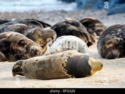 Grey seals hauled out for moulting  on the beach at Horsey, Norfolk, one of the main sites for these  marine mammals on the east coast of England. - Stock Image