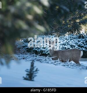 Deer in snow-covered forest - Stock Image