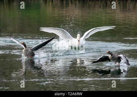 Angry aggressive mute swan  (Cygnus olor) chasing greylag geese (anser anser) - Stock Image