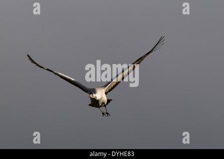Grauer Kranich, Grus grus, Eurasian Crane, Eurasischer Kranich, Flugbild, Spanien, Extremadura - Stock Image