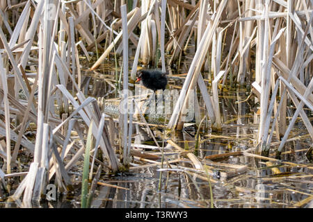 Young moorhen (Gallinula chloropus) duckling  amongst reeds standing on a floating wooden log in early spring sunlight - Stock Image