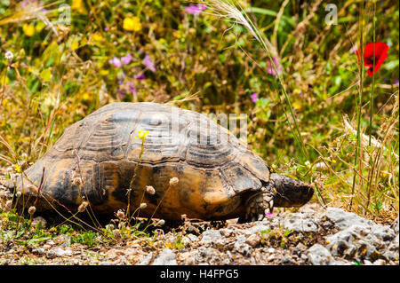 Athens, Greece. View from the Areopagus area below the Acropolis.  A turtle. - Stock Image