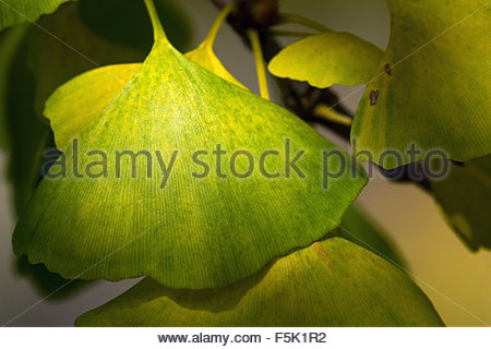 Ginkgo biloba leaves - also known as ginkgo, gingko and maidenhair tree - Stock Image