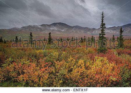 Tundra in Denali national park Alaska - Stock Image