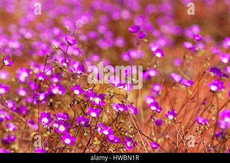 Parakeelya Flowers (calandrinia balonensis) , in Central Australia - Stock Image