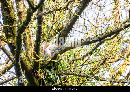 The invasive grey squirrel Sciurus carolinensis on a tree branch close to the top of the trunk. The tree shows growths of moss lichen and ivy. - Stock Image
