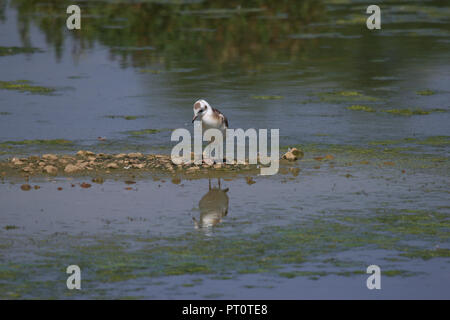 Seagull looking at reflection in shallow water - Stock Image