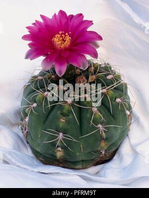 A globular cactus with spider-like spines Gymnocalycium baldianum in flower. - Stock Image