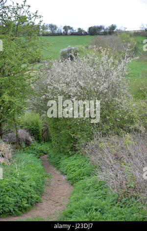 Hawthorn hedge in flower in the north Oxfordshire village of Hook Norton - Stock Image