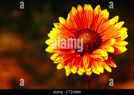 Photograph of a Gaillardia aristata (blanketflower or firewheel), that was photographed in Vista, California. - Stock Image