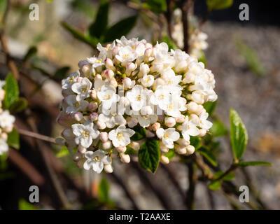 Globular spring cluster of fragrant tubular flowers of the deciduous shrub, Viburnum x burkwoodii - Stock Image