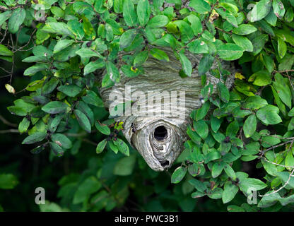 Bald faced hornet, Dolichovespula maculata, nest in tree.  Not a true hornet, it is a species of Yellowjacket wasp. - Stock Image