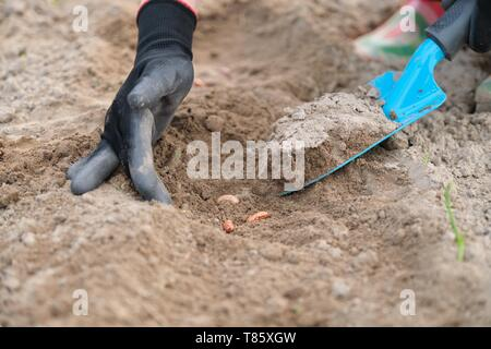 Spring planting seeds of legumes beans. Close up of woman hand in gloves with garden tools working with ground. - Stock Image