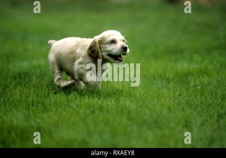 American Cocker Spaniel Puppy Running - Stock Image