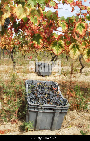 Vines with the leaves turning red and black grapes in crates - The grape harvest - Serra da Estrela, Portugal - Stock Image