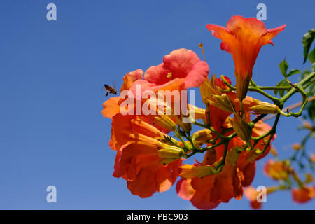 Cluster of Red n orange Campsis Radicans ( trumpet vine ) of the family Bignoniaceae with a busy bee hovering. Saronida, East Attica, Greece. ( Crop ) - Stock Image