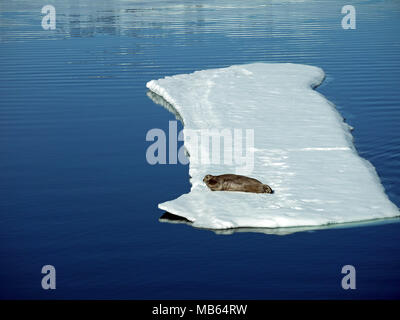 Walrus lying on a large piece of pack ice at above 80 degrees north and only 600 nautical miles from the North Pole - Stock Image