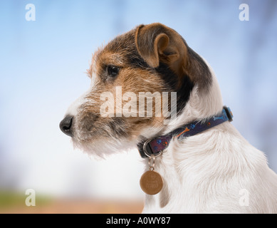 Jack Russell dog - Stock Image