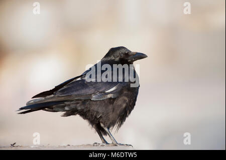Carrion Crow, (Corvus corone), showing leucism in feathers, standing on ground in winter, Regents Park, London, - Stock Image