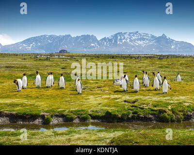 A group of penguins on South Georgia Island walking toward the camera on a grassy plain with snow-capped mountains - Stock Image